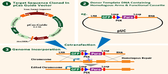 Diagram - Gene Editing RecombII_s